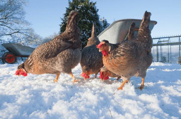 Cum se îngrijesc găinile iarna
